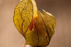 Fleur de peruviana de Physalis Photographie stock libre de droits