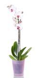 Fleur de phalaenopsis d'orchidée de fleurs d'orchidées Images libres de droits