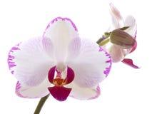 Fleur de phalaenopsis d'orchidée de fleurs d'orchidées Photos stock