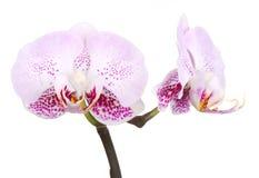 Fleur de phalaenopsis d'orchidée de fleurs d'orchidées Photos libres de droits