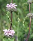 Fleur de Phlomis Images libres de droits