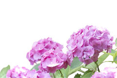 Fleur de phlox d'isolement sur le blanc photos stock