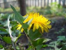 Fleur de pissenlit Images libres de droits