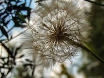 Fleur de pissenlit images stock