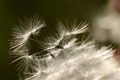 Fleur de pissenlit Image stock