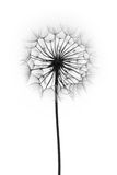 Fleur de pissenlit Photo stock