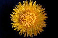 Fleur de pissenlit Photographie stock