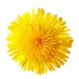 Fleur de pissenlit Photos stock
