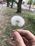Fleur de pissenlit Photographie stock libre de droits