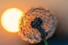 Fleur de pissenlit au soleil Photos stock