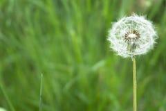 Fleur de pissenlit avec la boule de graines sur la fin de fond d'herbe vers le haut de la vue photos libres de droits