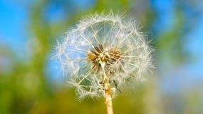 Fleur de pissenlit de chapeau d'air sur le fond de la verdure de ressort photographie stock libre de droits