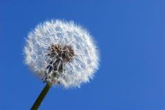 fleur de pissenlit d'horloge Image libre de droits