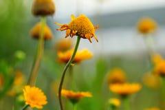 Fleur de pissenlit dans le domaine Photographie stock libre de droits