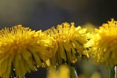 Fleur de pissenlit de détail dans une belle lumière Photographie stock libre de droits