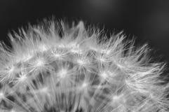 Fleur De Pissenlit En Plan Rapproche Noir Et Blanc Photo Stock