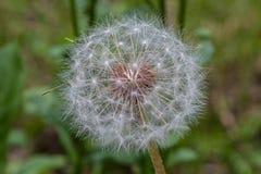 Fleur de pissenlit prête à émettre leurs graines image libre de droits