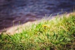 Fleur de pissenlit sur l'herbe verte avec de l'eau sur le fond Photographie stock libre de droits