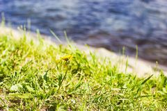 Fleur de pissenlit sur l'herbe verte avec de l'eau sur le fond Images stock