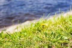 Fleur de pissenlit sur l'herbe verte avec de l'eau sur le fond Image libre de droits
