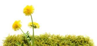 Fleur de pissenlit sur la mousse photos libres de droits