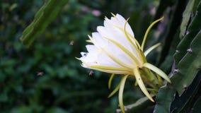 Fleur de Pitahaya Dragon Fruit - Tam Binh Vinh Long Vietnam Photos libres de droits