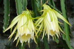 Fleur de Pitaya Photographie stock