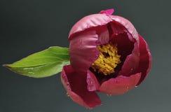 Fleur de pivoine Image libre de droits