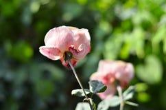 Fleur de pivoine Photos libres de droits