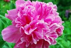 Fleur de pivoine Images stock