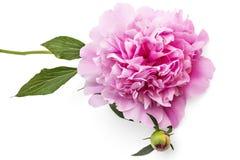 Fleur de pivoine photographie stock libre de droits