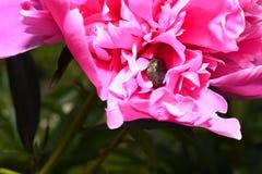 Fleur de pivoine avec un scarabée, plan rapproché Photo stock