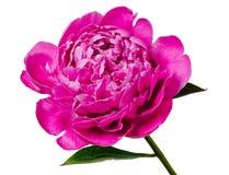 Fleur de pivoine d'isolement Image stock