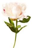 Fleur de pivoine d'isolement sur un fond blanc Images libres de droits
