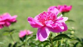 Fleur de pivoine de Bush Images stock