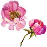 Fleur de pivoine de RWildflower dans un style d'aquarelle d'isolement Photos stock