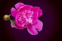 Fleur de pivoine La pivoine est une usine fleurissante dans le genre Paeonia Fond noir image stock