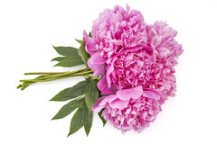 Fleur de pivoine, lactiflora de Paeonia Image stock