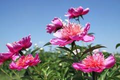 Fleur de pivoines fleurissant au printemps jardin Photo stock