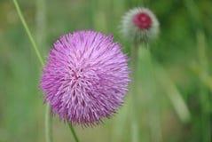 Fleur de plan rapproché de burdock Image libre de droits