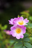 Fleur de plan rapproché de chien-rose Photo libre de droits