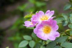 Fleur de plan rapproché de chien-rose Photos stock