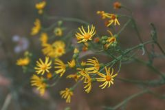 Fleur de plan rapproché de la fleur sauvage jaune dans le jardin Images libres de droits