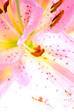 fleur de plan rapproché lilly Image libre de droits