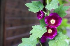 Fleur de plan rapproché pourpre de mauve Photo stock