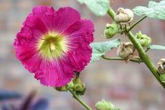Fleur de plan rapproché rose de mauve Photo libre de droits