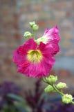 Fleur de plan rapproché rose de mauve Photographie stock libre de droits