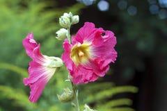 Fleur de plan rapproché rose de mauve Image libre de droits