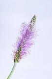 Fleur de Plantago sur le fond de ciel bleu Photo libre de droits