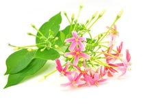 Fleur de plante grimpante de Rangoon photos stock
